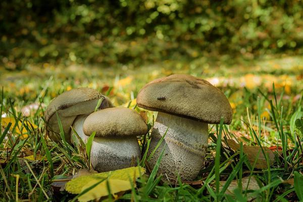 uprawa grzybów leśnych